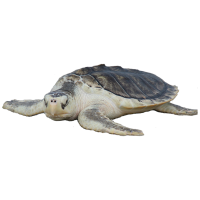 Kemps Ridley Turtle